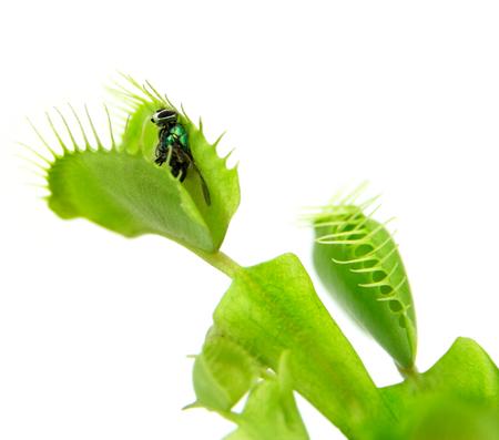 traps: Carnivorous plant  Flytrap   Dionaea muscipula