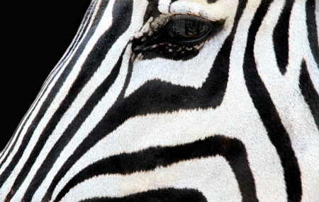 Zebra face on black background  photo