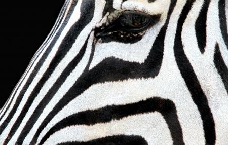 zebra face: Zebra face on black background  Stock Photo