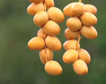 date palm tree: Fresh date fruits on a branch   Stock Photo