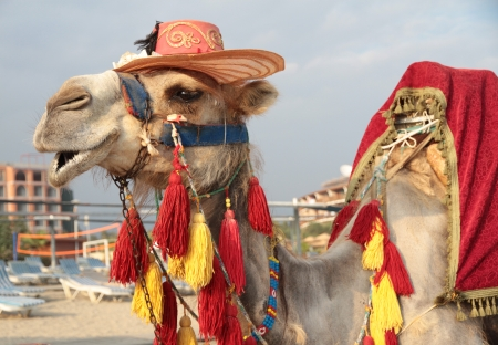 Fancy touristic camel Stock Photo - 22950548