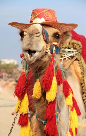 Fancy touristic camel photo
