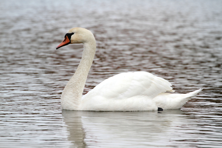White swan on a lake,close up image photo