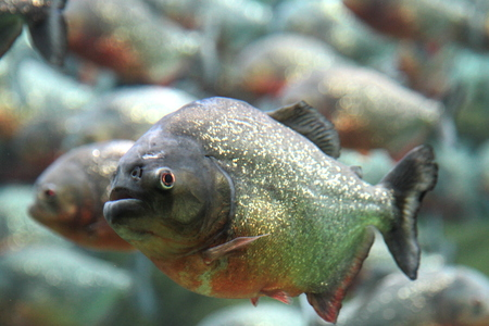 Red bellied piranha swimming underwater  photo