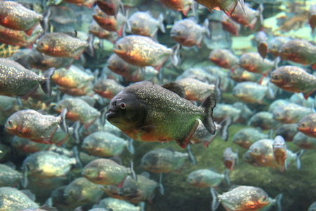 Piranhas swimming underwater   photo