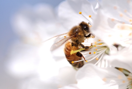 bee on white flower: Honey bee collecting pollen from flowers