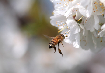 Honey bee collecting pollen from flowers   photo