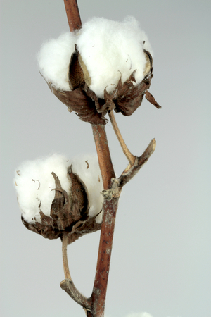boll: Cotton plant