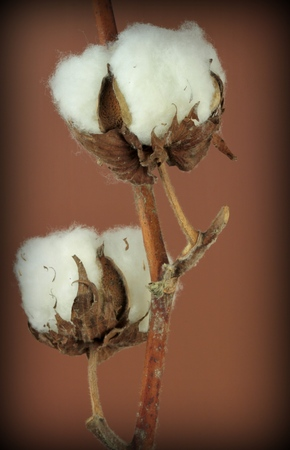 boll: Cotton plant on brown background