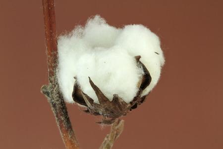 planta de algodon: Planta de algod�n sobre fondo marr�n Foto de archivo