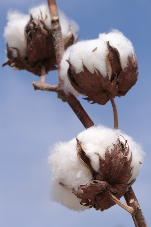 boll: Cotton plant  Ripe cotton ready for harvesting