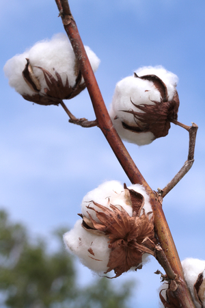 organic cotton: Cotton plant  Ripe cotton ready for harvesting