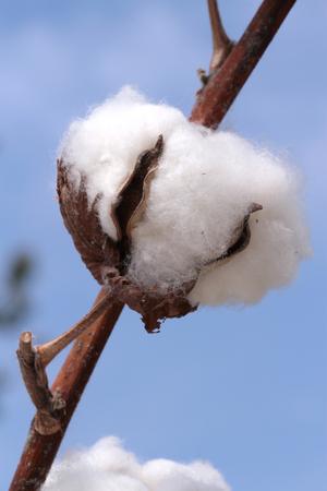boll: Cotton plant  Macro image, close up image