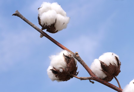 綿植物熟して綿の収穫の準備ができて