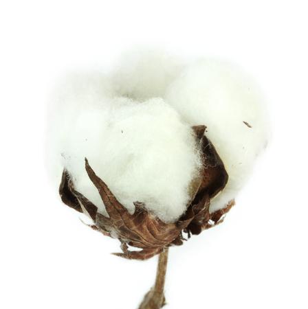 Cotton plant on white background  Macro image  photo