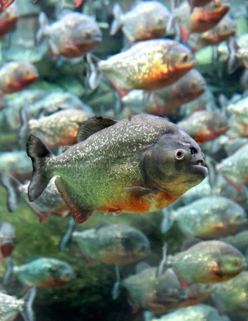 Red bellied piranha swimming underwater. ( Serrasalmus nattereri ) photo