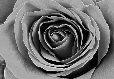 macro image: Beautiful rose. Macro image, B&W Stock Photo