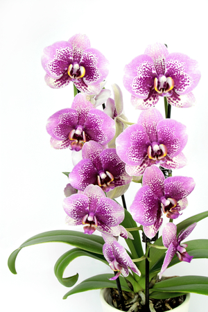 orchid house: Orchid ( Phalaenopsis ) in pot on white background.