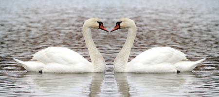 Two swan on the lake photo