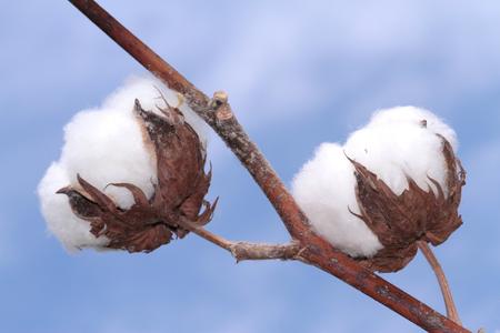 cotton crop: Cotton plant. Stock Photo