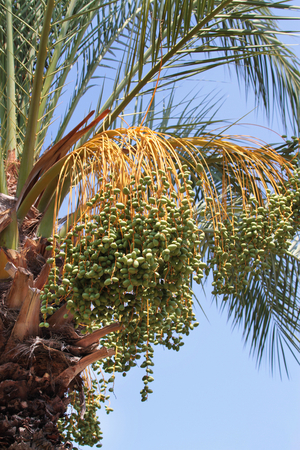 date palm tree: Unripe dates on date palm tree Stock Photo