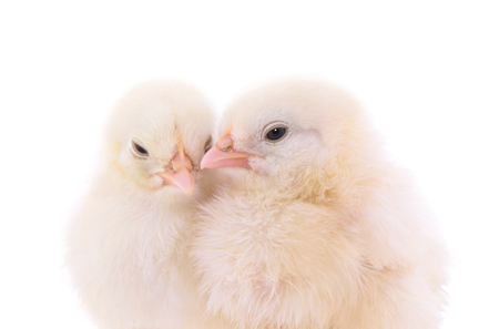 Cute chicks on white background Stock Photo