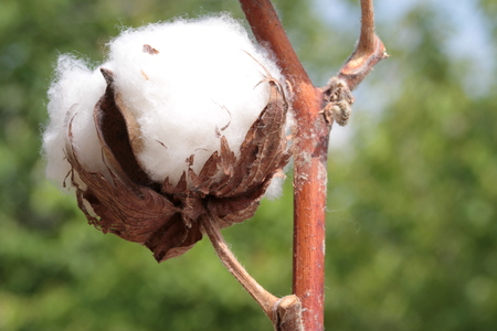 boll: Cotton plant. Macro image.