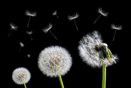 タンポポの花と黒い背景に飛んでいる種子。 写真素材