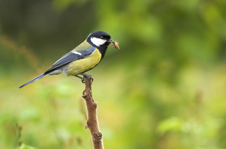 birds in tree: Great tit, on a branch with spider in beak Stock Photo