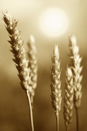 Wheat spike with sunshine.
