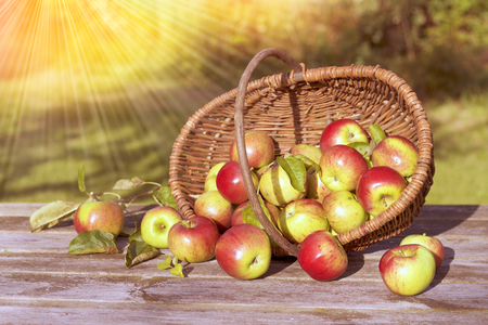 Organic apples in a basket and spilled on the old table with sun rays