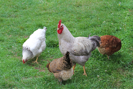 Free-rance hens and  rooster on grass. Banco de Imagens