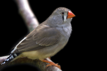 Zebra finch perched on branch and black background. 版權商用圖片