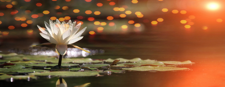 Lotus flower on a lake with sunrise and reflections Stock Photo