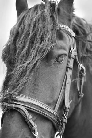 Friesian horse .
