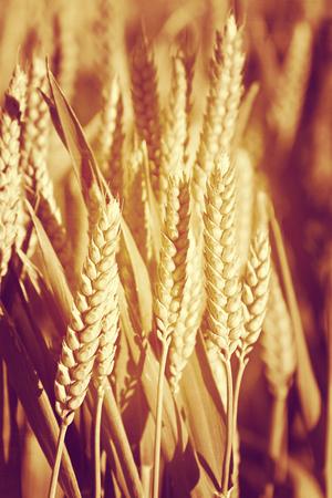 Wheat spike Reklamní fotografie