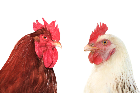 Rooster and hen on white background.