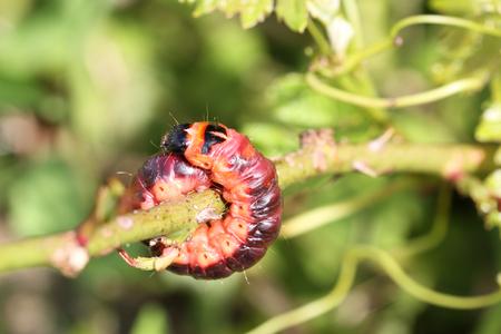Big caterpillar ,  Cossus cossus  -  Goat Moth ( Cossus cossus )