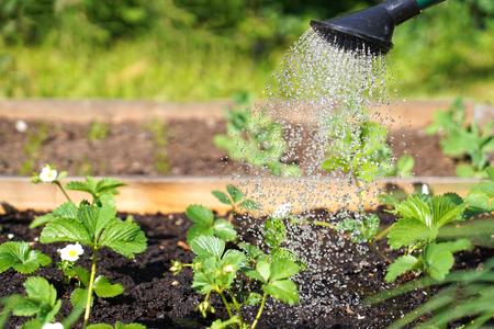 Watering strawberries plant in the garden 写真素材