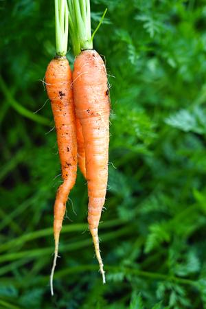 New harvest fresh organic carrots 写真素材
