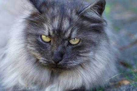 Persian cat .