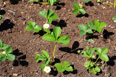 Strawberry plants growing in the garden