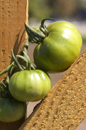 Green tomatoes balanced in the crook of a fence.
