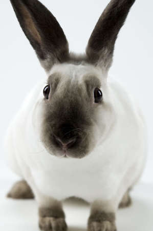 sable: Close up of a sable point, mini rex rabbit.