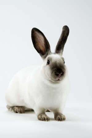 Full body shot of a sable point, mini rex rabbit.