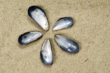 California Blue Mussel shells form a flower on a background of sand.