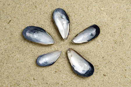 Five California Blue Mussel shells on a background of sand.