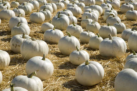 Frame is filled with small white pumpkins scattered on straw.