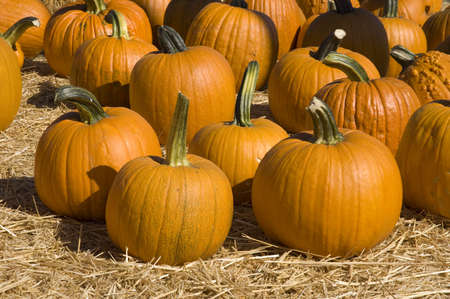 Many pumpkins of different sizes, stems are straight and twisted.