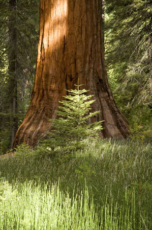 A young conifer growing in front of a giant redwood tree. Imagens